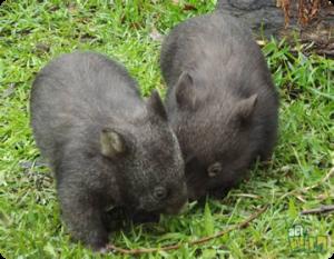 wombats act wild