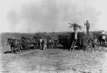 Loading cane South Isis N.C. Railway ca.1900