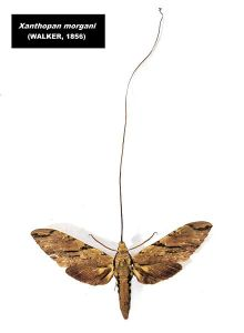 orchid Darwin's moth_Xanthopan_morgani
