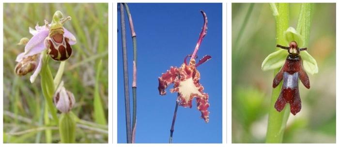 orchid mimics