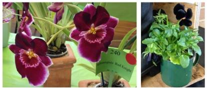 orchid pansies